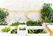 Hướng dẫn cách trồng rau mầm trong thùng xốp tại nhà