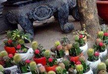 hoa xương rồng cảnh