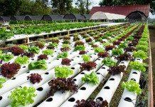 Mô hình trồng rau sạch thủy canh