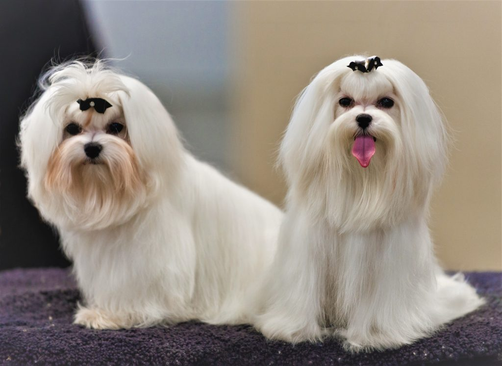 Cho Maltese thi Dog Show